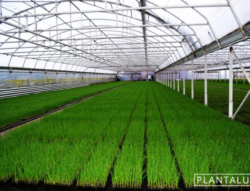Ecological chives under Plantalux horticulture LED lamps
