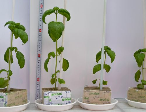 Basil – Research at University of Life Science in Lublin