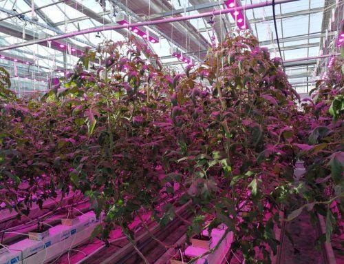 Pomidory Tomimaru Muchoo na SGGW