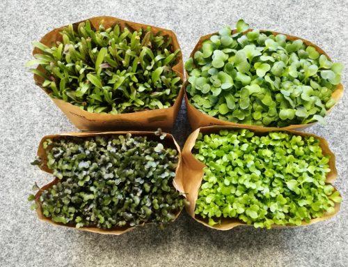 Rozsada pomidora, papryki oraz mikro zioła