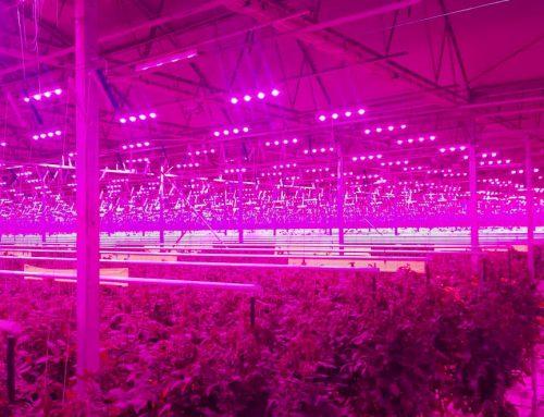 55 000 m2 uprawy pomidorów pod oświetleniem LED